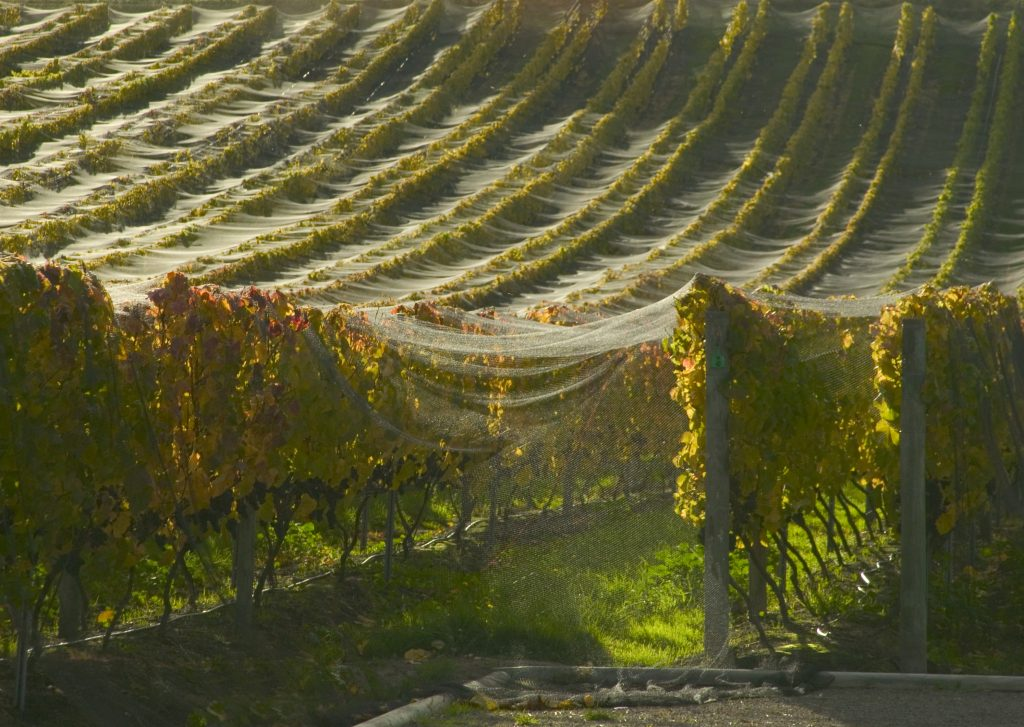 Grape Vines Home Hill Winery